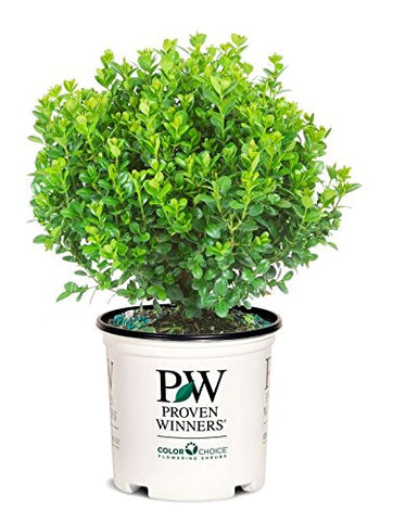 Proven Winners - Buxus micro. Sprinter (Boxwood) Evergreen, , #2 - Size Container