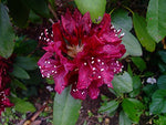 Rhododendron 'Dark Lord'  (Rhododendron) Evergreen, burgundy red flowers, #2 - Size Container