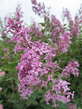 Proven Winners - Syringa x Bloomerang Purple (Reblooming Lilac) Shrub, purple flowers, #3 - Size Container
