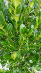 Buxus micro. 'Winter Gem' (Boxwood) Evergreen, shiny green foliage, #2 - Size Container