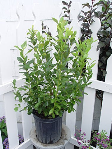 Vaccinium corymbosum 'Patriot' (HighBush Blueberry) Edible-Shrub, #2 - Size Container