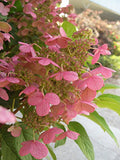 Proven Winners - Hydrangea pan. Quick Fire (Panicle Hydrangea) Shrub, white to pink flowers, #2 - Size Container