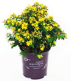 First Editions - Hypericum inodorum Red Star (St. Johns Wort) Shrub, red fruit, #2 - Size Container