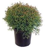 Thuja Mr. Bowling Ball (Arborvitae) Evergreen, #2 - Size Container