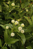Proven Winners - Cephalanthus occidentalis Sugar Shack (Buttonbush) Shrub, white flowers, #3 - Size Container