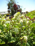 American Beauties Native Plants - Fothergilla major (Large Fothergilla) Shrub, white flowers, #2 - Size Container