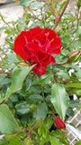 Drift Roses - Rosa Red Drift (Rose) Rose, double red flowers, #2 - Size Container