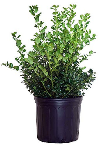 Ilex X meserveae 'China Girl' (Holly) Evergreen, 3 - Size Container