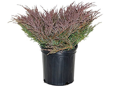 Juniperus hor. 'P.C. Youngstown' (Creeping Juniper) Evergreen, #2 - Size Container