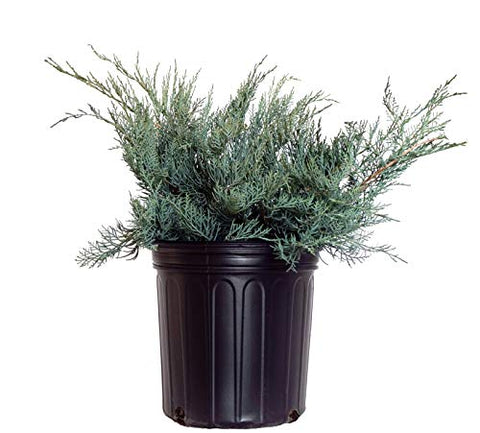 Juniperus virginiana 'Grey Owl' (Eastern Red Cedar) Evergreen, #2 - Size Container