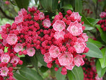 Kalmia lat. 'Sarah' (Mountain Laurel) Evergreen, pinkish-red flowers, #3 - Size Container