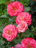 Easy Elegance Roses - Rosa Grandmas Blessing (Rose) Rose, pink flowers, #2 - Size Container