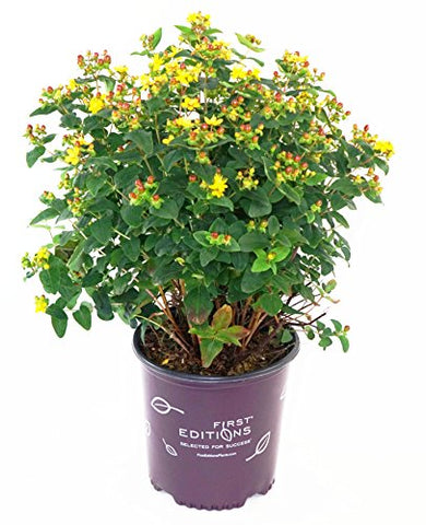 First Editions - Hypericum inodorum Mocca (St. Johns Wort) Shrub, dark red fruit, #2 - Size Container