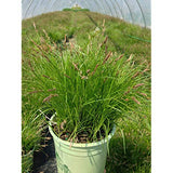American Beauties Native Plants - Carex pensylvanica (Pennsylvania Sedge) Grass, green foliage, #1 - Size Container