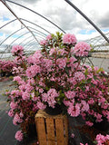 Rhododendron 'Bubblegum' (Rhododendron) Evergreen, dark foliage with pink flowers, #3 - Size Container