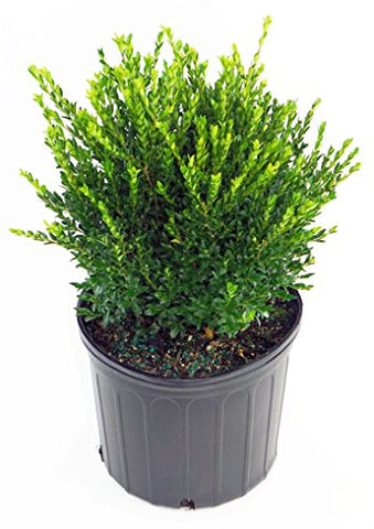 Buxus sinica v. Ins. Justin Brouwer (Boxwood) Evergreen, #2 - Size Container