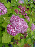 Proven Winners - Spiraea jap. Double Play Big Bang (Spirea) Shrub, large pink flw., #3 - Size Container