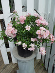 Flower Carpet Roses - Rosa Appleblossom (Rose) Rose, pale pink flowers, #2 - Size Container