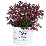 Proven Winners - Weigela florida Fine Wine (Weigela) Shrub, pink flowers, #2 - Size Container