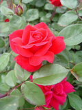 Knock Out Roses - Rosa Double Knock Out (Rose) Rose, red-double, #3 - Size Container