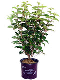 First Editions - Viburnum plicatum Opening Day (Doublefile Viburnum) Shrub, white ball-shaped flowers, #3 - Size Container