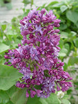 Syringa X hya. 'Royal Purple' (Lilac) Shrub, purple flowers, #3 - Size Container