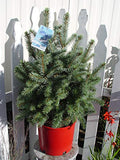 Picea pungens 'Baby Blue' (Baby Blue Blue Spruce) Evergreen, 3 - Size Container