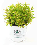 Proven Winners - Weigela florida My Monet 'Sunset' (Weigela) Shrub, pink flowers, #3 - Size Container