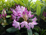 American Beauties Native Plants - Rhododendron maximum 'Independence' (Rhododendron) Evergreen, clear pink flowers, #2 - Size Container