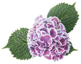 Proven Winners - Hydrangea mac. Cityline Mars (Bigleaf Hydrangea) Shrub, white flowers with pink or blue centers, #3 - Size Container