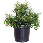Cotoneaster  sal. 'Repandens' (Willowleaf Cotoneaster) Shrub, #2 - Size Container