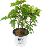 Proven Winners - Hydrangea quercifolia Gatsby's Moon (Oakleaf Hydrangea) Shrub, white flowers, #3 - Size Container