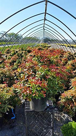 Green Promise Farms PIERIS Japonica `Mountain FIRE` (Andromeda) Evergreen, 3 Size Container, White Blossoms