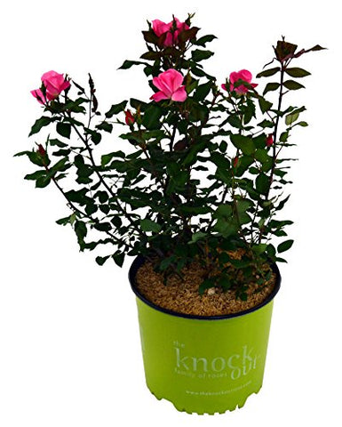 Knock Out Roses - Rosa Knock Out Pink (Rose) Rose, pink flowers, #3 - Size Container