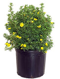 Potentilla frut. Mango Tango (Cinquefoil) Shrub, orange/yellow, #3 - Size Container