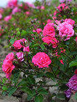 Drift Roses - Rosa Coral Drift (Rose) Rose, coral flowers, #2 - Size Container