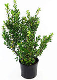 Ilex X meserveae 'Blue Prince' (Blue Holly) Evergreen, #3 - Size Container