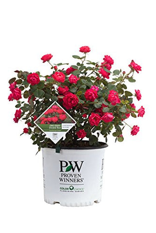 Proven Winners - Rosa OSO EASY Double Red (Landcape Rose) Rose, red flowers, #2 - Size Container