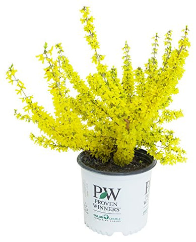 Proven Winners - Forsythia x Show Off Starlet (Forsythia) Shrub, yellow flowers, #3 - Size Container