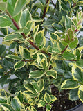 Ilex X meserveae 'Honey Maid' (Varigated Holly) Evergreen, yellow & blue/green varigated foliage, 2 - Size Container