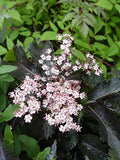 Plants That Work - Sambucus racemosa Black Tower (Elderberry) Shrub, black foliage with pink flowers, #3 - Size Container