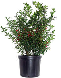Ilex X meserveae 'Blue Princess' (Blue Holly) Evergreen, #3 - Size Container