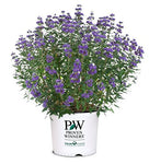 Proven Winners - Caryopteris X cland. Beyond Midnight (Bluebeard) Shrub, , #2 - Size Container