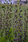 Proven Winners - Baptisia DECADENCE 'Dutch Chocolate' (False Indigo) Perennial, brown flowers, #1 - Size Container