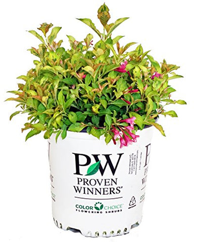 Proven Winners - Weigela florida My Monet 'Sunset' (Weigela) Shrub, pink flowers, #2 - Size Container