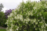 Syringa vul. X 'Primrose' (Lilac) Shrub, pale yellow flowers, #3 - Size Container