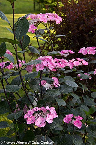 Proven Winners - Hydrangea mac. Abracadabra  Star (Bigleaf Hydrangea) Shrub, black stems with pink or blue flowers, #3 - Size Container