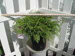 Microbiota decussata (Russian Cypress) Evergreen, #2 - Size Container