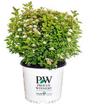 Proven Winners - Physocarpus op. Tiny Wine Gold (Ninebark) Shrub, gold foliage, #3 - Size Container