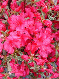 Azalea 'Arctic Rose' (Azalea) Shrub, deep rose flowers, #3 - Size Container